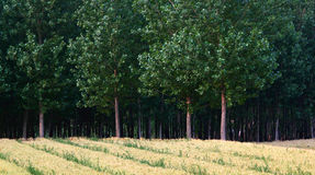 Wheat fields and woods Royalty Free Stock Photo