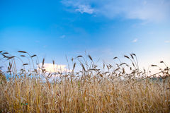 Wheat filed and blue skies Royalty Free Stock Photography