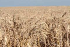 Wheat filed. Closeup photo of wheat against a blue sky Stock Images