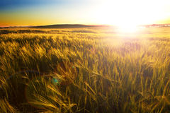 Wheat filed and sunset.Agriculture Stock Photo