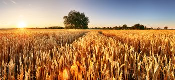 Wheat flied panorama with tree at sunset, rural countryside - Agriculture stock image