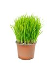Wheat in the flowerpot Stock Image