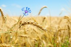 Wheat with flowers Stock Image