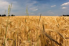 Wheat, Food Grain, Crop, Field stock photography