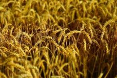 Wheat, Food Grain, Grain, Crop stock images