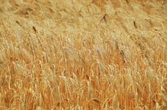 Wheat, Food Grain, Grain, Grass Family stock photography