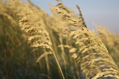 Wheat, Food Grain, Grass Family, Grain royalty free stock photo