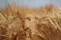 Wheat, Food Grain, Grass Family, Grain royalty free stock photos