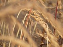 Wheat, Food Grain, Grass Family, Rye stock photo