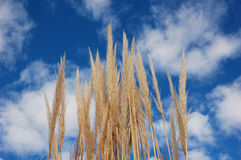 Wheat in front of blue sky. Low angle view of blades of ripe wheat with blue sky and cloudscape background Royalty Free Stock Image
