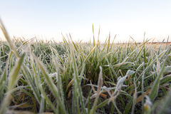 Wheat during frost. Small sprouts of wheat, photographed after frost at dawn, defocused, sun dawn Royalty Free Stock Photo