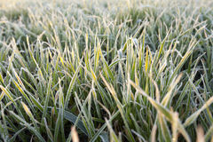 Wheat during frost Royalty Free Stock Image