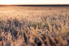 Wheat during frost Stock Photography
