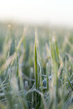 Wheat during frost Royalty Free Stock Images