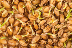 Wheat germ background Stock Images
