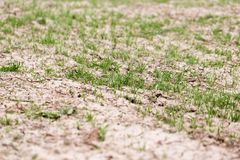 Wheat germ on the field. In the park in nature Royalty Free Stock Photos