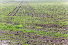 Wheat germ ,  field Stock Photos