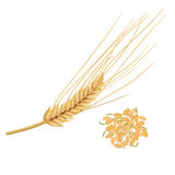 Wheat germ, the nutritious wheat kernel. isolated. Germinated grains Royalty Free Stock Photography