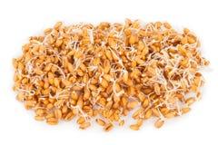 Wheat germ stock photography