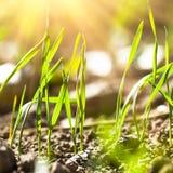 Wheat germination closeup Royalty Free Stock Photos