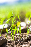 Wheat germination closeup Royalty Free Stock Images