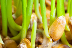 Wheat germination macro. Wheat germination close up wheat sprouts Royalty Free Stock Photos