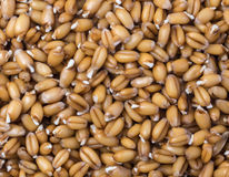 Wheat germs background. Close up of wheat germ background Stock Images