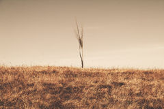 Wheat giant Stock Photography