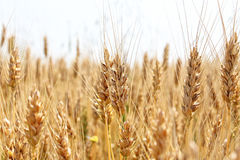 wheat Stock Image