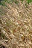 Wheat golden Royalty Free Stock Photography