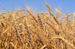 Golden wheat field Royalty Free Stock Photo