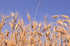 Golden wheat Royalty Free Stock Images