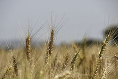 Wheat golden crops Royalty Free Stock Image