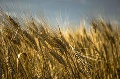 Wheat Royalty Free Stock Image