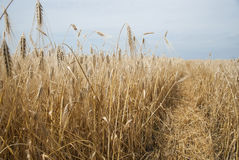 Wheat golden field. With trail Royalty Free Stock Photos
