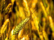 Wheat. Golden wheat growing in a farm field Stock Photos
