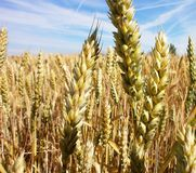 Wheat. Golden wheat proudly beautiful sunny day Stock Image