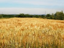 Wheat. Golden wheat proudly beautiful sunny day Royalty Free Stock Image