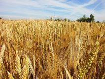 Wheat. Golden wheat proudly beautiful sunny day Stock Images