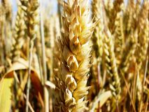Wheat. Golden wheat proudly beautiful sunny day Stock Photo