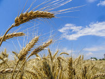 Wheat. Golden wheat in the sun on a background of bluish sky Royalty Free Stock Photo