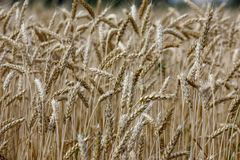 Wheat on a golden yellow farm is beautiful and awaits harvest in season. Close-up royalty free stock photography
