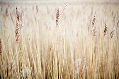 Wheat / Grain Royalty Free Stock Image