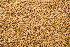 Wheat grain as background Stock Photography