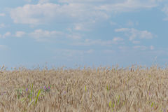 Cropland. In a sunny afternoon with blue sky and white clouds stock images