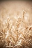 Wheat grain crop ears on field Royalty Free Stock Images