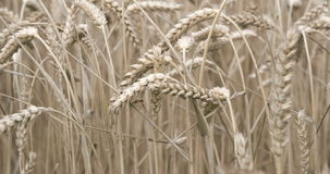 The wheat grain crop in the meadows Royalty Free Stock Photo