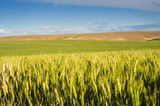 Wheat or grain farmscape Royalty Free Stock Photos