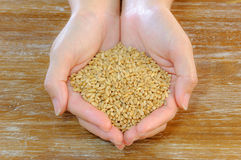 Wheat grain in female hands on wood table background Royalty Free Stock Image