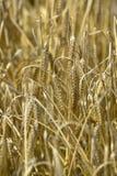 Wheat, grain,  field,. Wheat ears  on the field in sunlight.   ear, bread Royalty Free Stock Photo